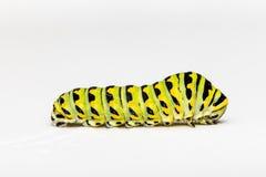 Гусеница бабочки Swallowtail на белой предпосылке Стоковое Фото