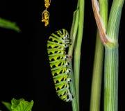 Гусеница бабочки Swallowtail Стоковые Изображения RF