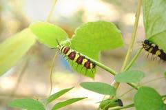 Гусеница взбираясь и подавая на ветви гороха бабочки в саде Стоковые Фотографии RF