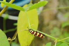 Гусеница взбираясь и подавая на ветви гороха бабочки в саде Стоковая Фотография RF