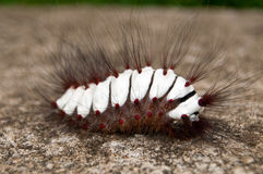гусеница волосатая Стоковая Фотография