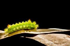 Гусеница в природе Стоковое Изображение