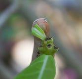Гусеница есть зеленые лист Стоковое Изображение
