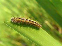 гусеница есть помеец Стоковые Фото