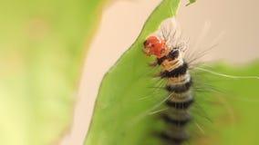 Гусеница ест зеленые листья, зажим HD видеоматериал
