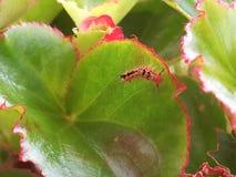 Гусеница живя на заводе бегонии Стоковое Изображение RF