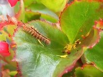 Гусеница живя на заводе бегонии Стоковое Фото