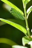 Гусеница зеленое Papilio Macaone Стоковое Фото