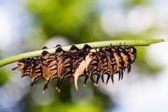 Гусеница золотой (общей) birdwing бабочки Стоковые Изображения RF