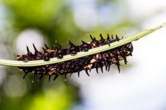 Гусеница золотой (общей) birdwing бабочки Стоковые Изображения