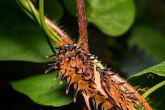 Гусеница золотой birdwing бабочки на заводе Стоковое Фото