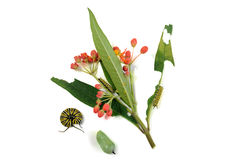 Гусеница и chrysalis, бабочка монарха, рядом с заводом Стоковые Фото