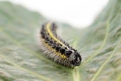 Гусеница малой бабочки белизны капусты Стоковая Фотография