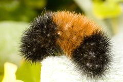 гусеница медведя шерстистая Стоковое Изображение RF