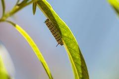 Гусеница монарха, plexippus Даная, в саде бабочки Стоковые Фото