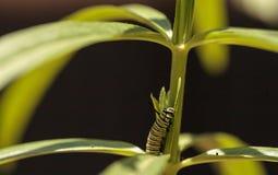 Гусеница монарха, plexippus Даная, в саде бабочки Стоковая Фотография RF