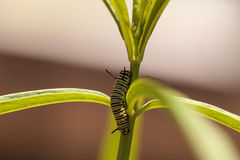 Гусеница монарха, plexippus Даная, в саде бабочки Стоковое Изображение