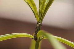 Гусеница монарха, plexippus Даная, в саде бабочки Стоковая Фотография