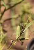Гусеница монарха, plexippus Даная, в саде бабочки Стоковое Изображение RF
