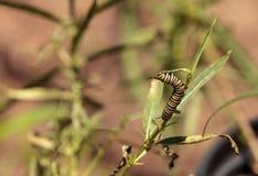 Гусеница монарха, plexippus Даная, в саде бабочки Стоковые Фотографии RF