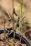 Гусеница монарха, plexippus Даная, в саде бабочки Стоковые Изображения RF