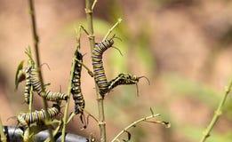 Гусеница монарха, plexippus Даная, в саде бабочки Стоковое фото RF