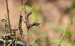 Гусеница монарха, plexippus Даная, в саде бабочки Стоковое Фото