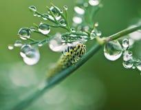 Гусеница на лист укропа Стоковая Фотография RF