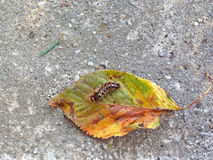 Гусеница на лист Стоковое Фото