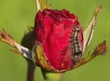 Гусеница на розе Стоковые Изображения