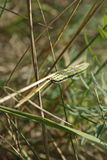 гусеница на соломе Стоковая Фотография RF
