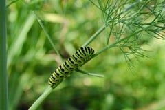 Гусеница на укропе ветви Стоковое Изображение