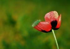 Гусеница на цветке мака Стоковые Фотографии RF