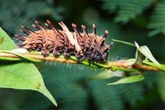 Гусеница общей золотой birdwing бабочки Стоковые Фотографии RF