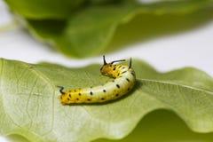 Гусеница общей смертной казни через повешение бабочки maplet на лист хозяина p Стоковое Изображение RF
