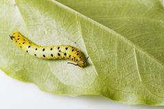Гусеница общей смертной казни через повешение бабочки maplet на лист хозяина p Стоковая Фотография