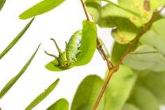 Гусеница общих athamas Polyura бабочки nawab в 5-ом стоковые изображения rf