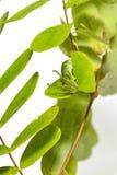 Гусеница общих athamas Polyura бабочки nawab в 5-ом стоковое фото rf