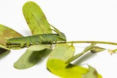 Гусеница общих athamas Polyura бабочки nawab в 5-ом стоковые фотографии rf