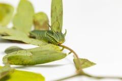Гусеница общих athamas Polyura бабочки nawab в 5-ом стоковые изображения