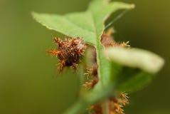 Гусеница сосны Стоковая Фотография RF