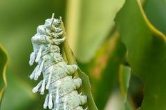 Гусеница сумеречницы атласа (атласа Attacus) стоковые фотографии rf