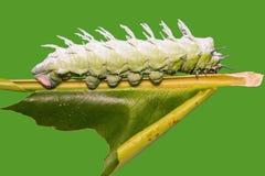 Гусеница сумеречницы атласа Стоковые Фотографии RF