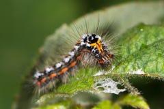 гусеница сумеречницы Желт-кабеля (similis Euproctis) Стоковое Фото