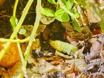 Гусеница сумеречницы хоука олеандра расположенная в Jomtien, Таиланде Стоковое Изображение RF
