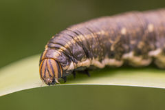 Гусеница сумеречницы хоука повилики Стоковое Фото