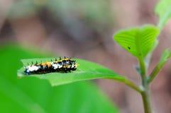 Гусеница сумеречницы Стоковая Фотография