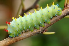 Гусеница сумеречницы Cecropia, cecropia Hyalophora Стоковые Фото