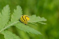 Гусеница сумеречниц Zygaenidae Стоковая Фотография RF