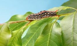 Гусеница с красным рожком на дереве Стоковая Фотография